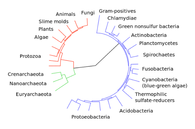 Genomic relationship across the three domains of life, Eukarya (red), Archaea, (green), and Bacteria (blue).  Image Credit: Wikipedia